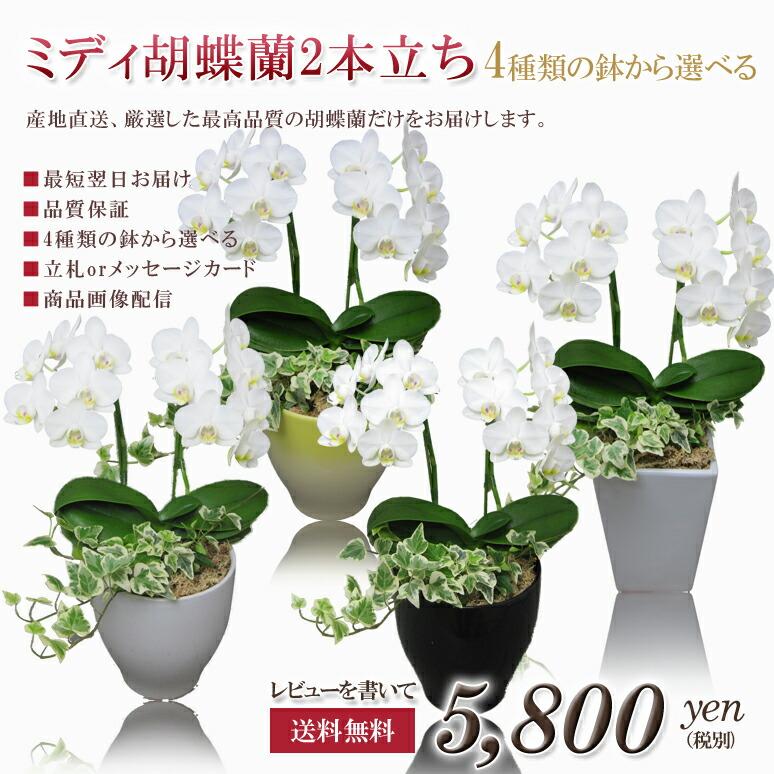 ミディ胡蝶蘭2本立ち4種類の鉢から選べる アマビリス「白」 ¥5,750(税抜)【送料無料】
