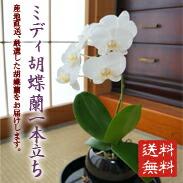 小ぶりでも気品溢れる!蝶蘭1本立ち ¥4,980(税抜)【送料無料】