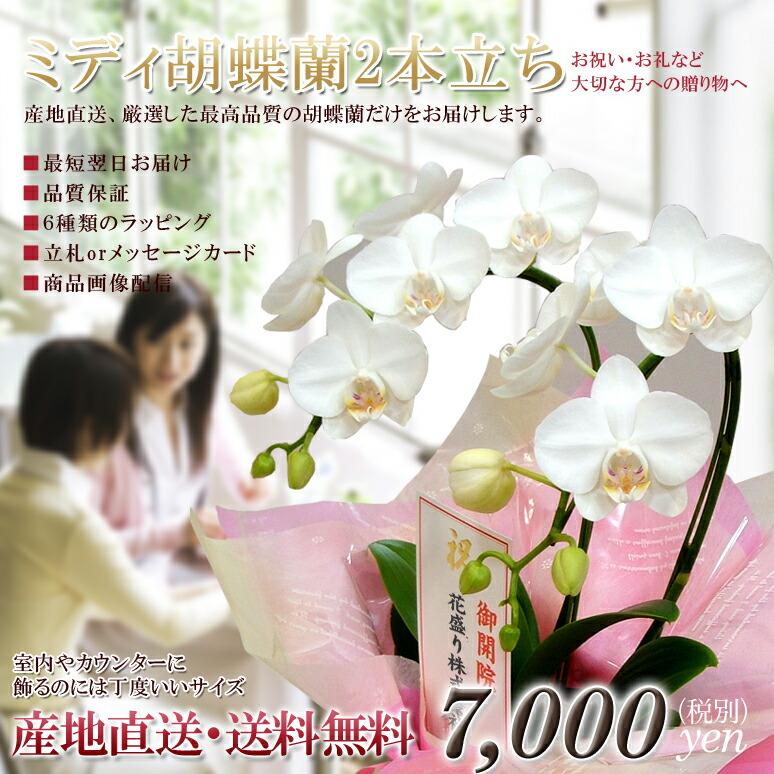 ミディ胡蝶蘭2本立ち アマビリス「白」 ¥5,900(税抜)【送料無料】