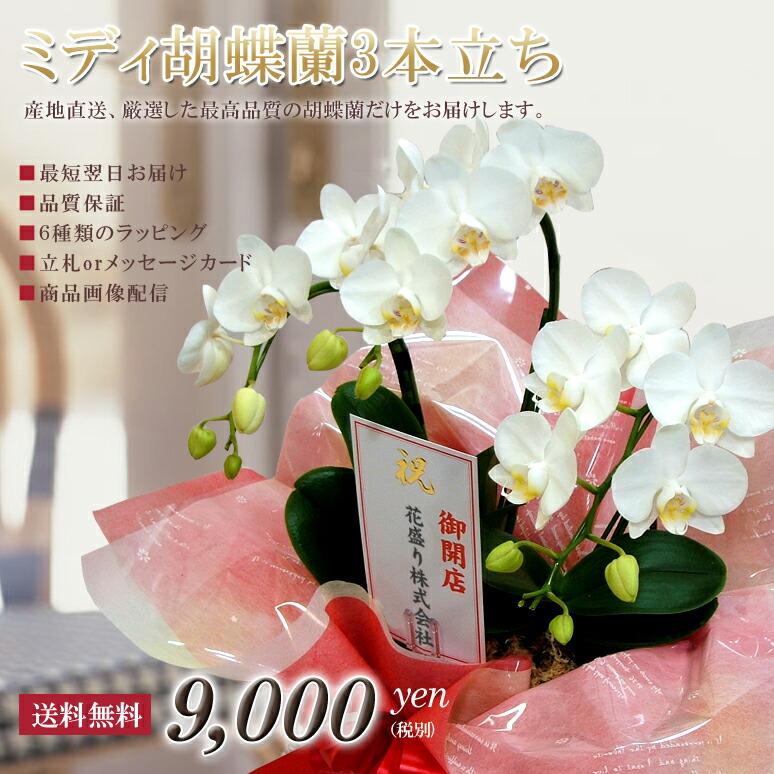 ミディ胡蝶蘭3本立ち アマビリス「白」¥7,800(税抜)【送料無料】