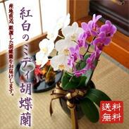 縁起の良いミディ胡蝶蘭!紅白ミディ胡蝶蘭2本立ち ¥6,500(税抜)【送料無料】