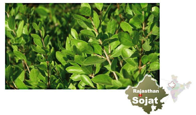 Rajasthan Sojat