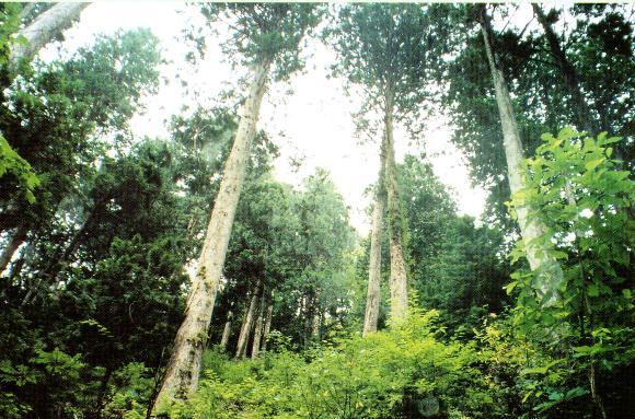 ヒバの森は、雛の為に親鳥たちが巣作りに帰ってくるといわれてます