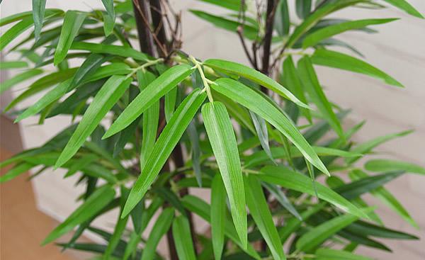 竹(バンブー)