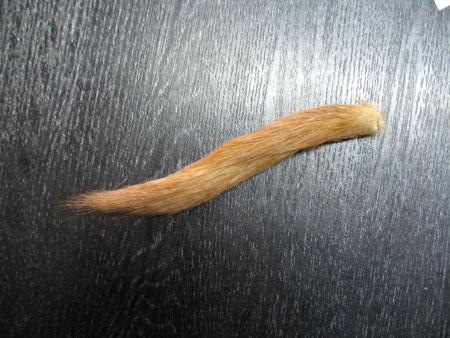 こんなに小さな尻尾から多くの筆が生み出されます