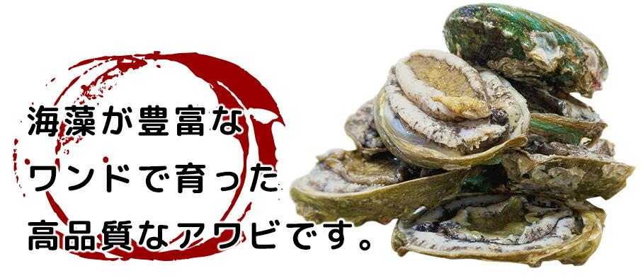 蝦夷アワビ/海藻が豊富なワンドで育った高品質なアワビ