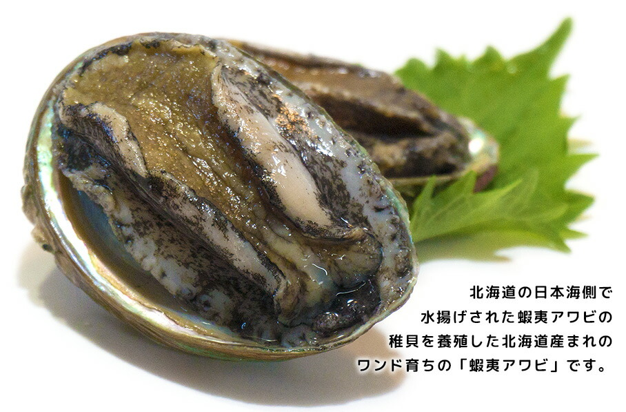 蝦夷アワビ/北海道産れワンド育ちの蝦夷アワビ