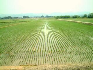 有機栽培の稲が成長してきました