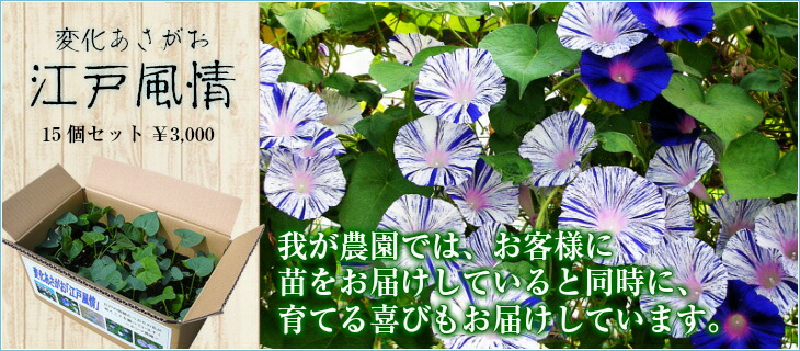 変化あさがお「江戸風情」15個セット