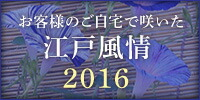 お客様のご自宅で咲いた江戸風情 2016