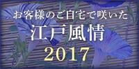 お客様のご自宅で咲いた江戸風情 2017