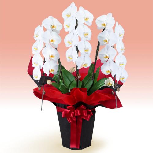 【お正月フラワーギフト】胡蝶蘭 3本立(開花輪白24以上)赤系ラッピング 511520 |花キューピットの2021お正月フラワーギフト特集