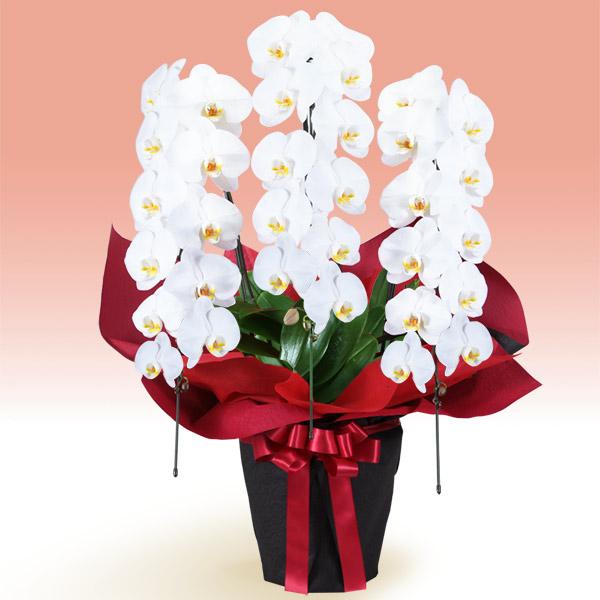 【お正月フラワーギフト】胡蝶蘭 3本立(開花輪白33以上)赤系ラッピング 511536 |花キューピットの2021お正月フラワーギフト特集