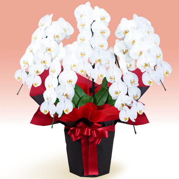 【お正月フラワーギフト】胡蝶蘭 5本立(開花輪白50以上)赤系ラッピング 511540 |花キューピットの2021お正月フラワーギフト特集