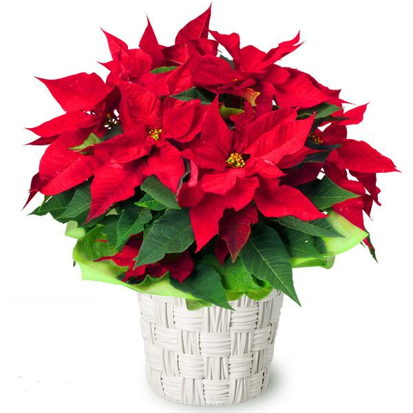 【クリスマスフラワー】ポインセチア鉢 511772 |花キューピットのクリスマスプレゼント特集2019