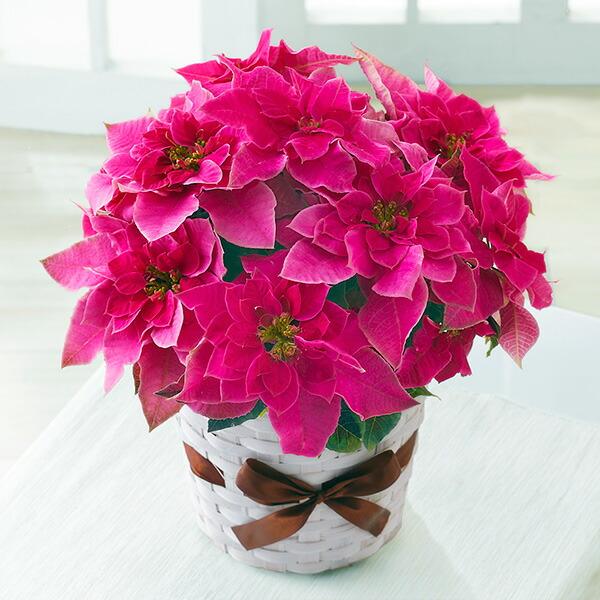 【クリスマス】プリンセチア ローザ 711422 |花キューピットのクリスマスプレゼント特集2020