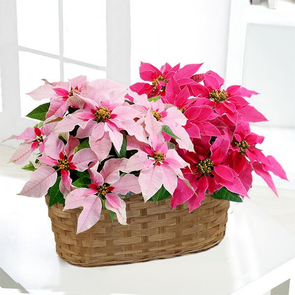【クリスマス】プリンセチア 2色寄せ鉢 711423 |花キューピットのクリスマスプレゼント特集2020