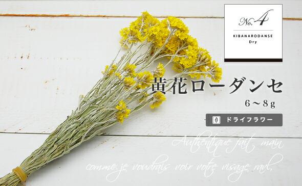 黄花ローダンセ