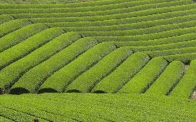 掛川の茶畑