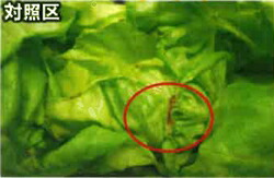 葉活酢(ようかつす)のサラダ菜での使用事例
