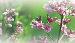 ラフマの花