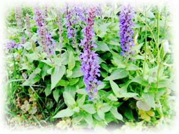 チアシードの花