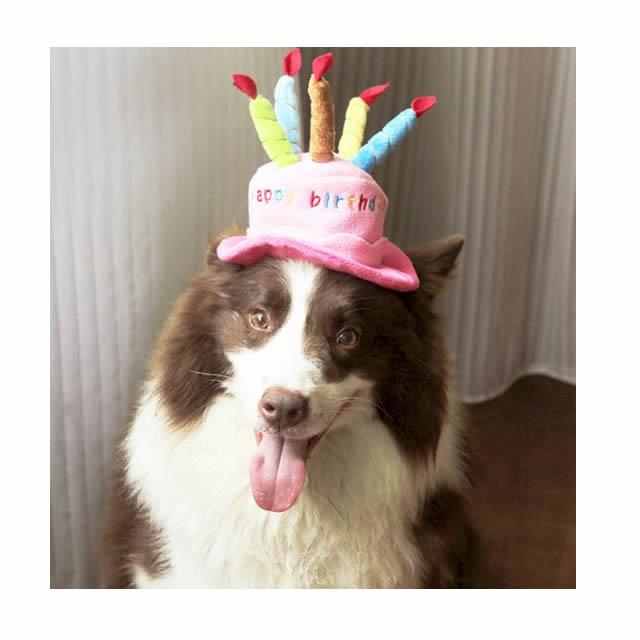 Resultado de imagen para 犬 Border Collie 誕生日パーティー