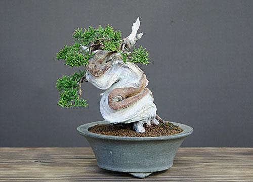 糸魚川真柏小品盆栽