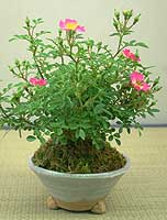 ミニバラ雅ミニ盆栽