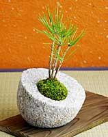 黒松ミニ盆栽