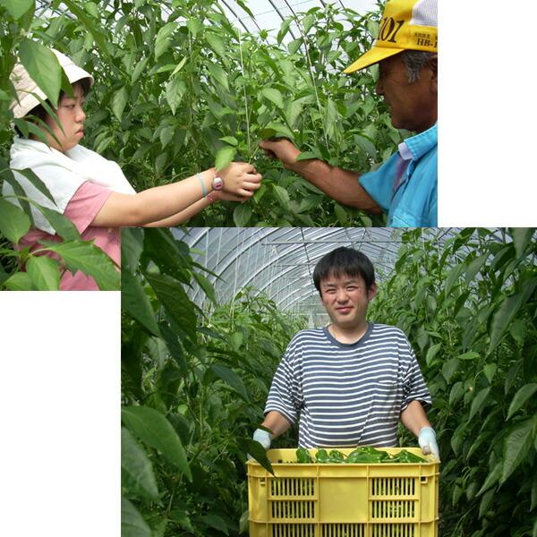 NPO法人ライフステージ三の丸ひまわり 特産ピーマン収穫