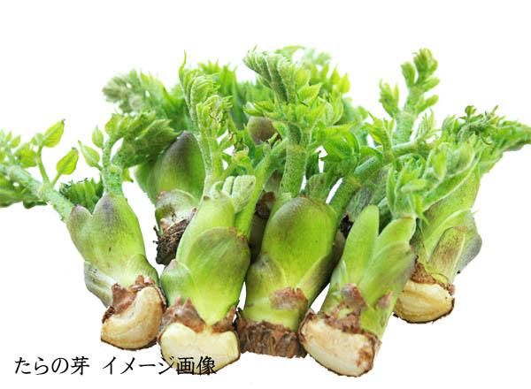 山菜 たらの芽