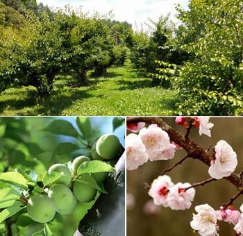 軽米町の梅の木