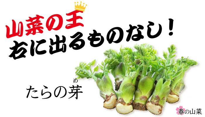 山菜の王様タラの芽