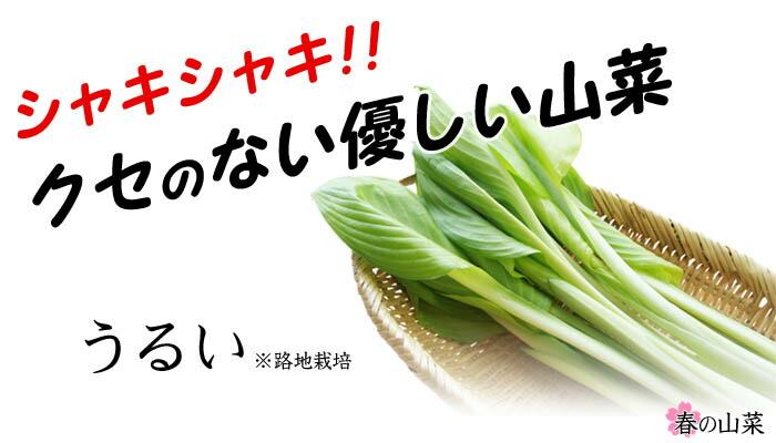 旬の山菜・うるい