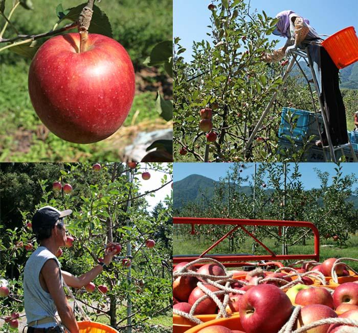 りんごの摘み取り作業風景