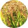 米 5kg 送料無料 新潟県産こがねもち米
