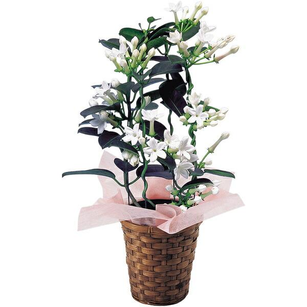 【送料無料】【母の日】母の日 マダガスカルジャスミン4号【代引不可】【ギフト館】