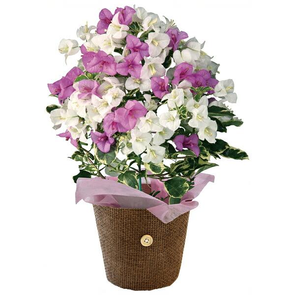 【送料無料】【母の日】母の日 ブーゲンビリア4号(ブルーハワイ)【代引不可】【ギフト館】
