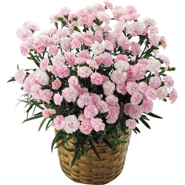 【送料無料】【母の日】ピンクカーネーション鉢植え「バンビーノ」6号【代引不可】【ギフト館】
