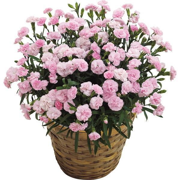 【送料無料】【母の日】ピンクカーネーション鉢植え「バンビーノ」7号【代引不可】【ギフト館】