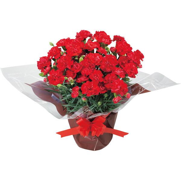 【送料無料】【母の日】赤カーネーション鉢植えと感謝バウムクーヘンのセット【代引不可】【ギフト館】
