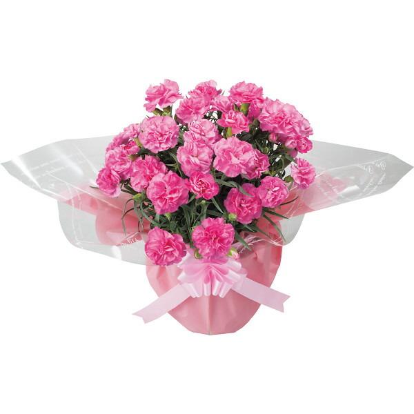 【送料無料】【母の日】ピンクカーネーション鉢植えとゼリーのセット【代引不可】【ギフト館】