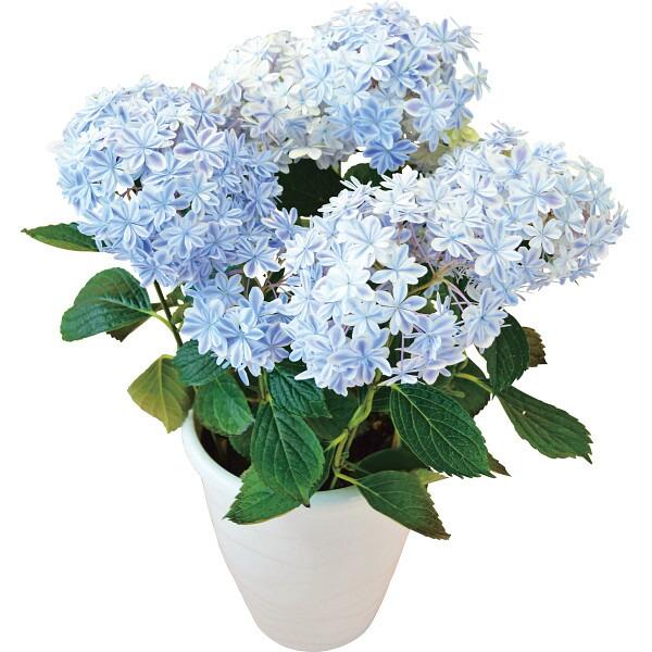 【送料無料】【母の日】アジサイ鉢植え 万華鏡【代引不可】【ギフト館】