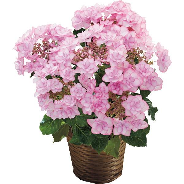 【送料無料】【母の日】アジサイ鉢植え ピンキーリング 19年度-7(母の日)【代引不可】【ギフト館】