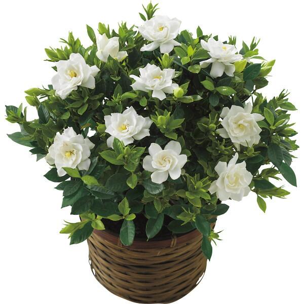 【送料無料】【母の日】ガーデニア鉢植え【代引不可】【ギフト館】