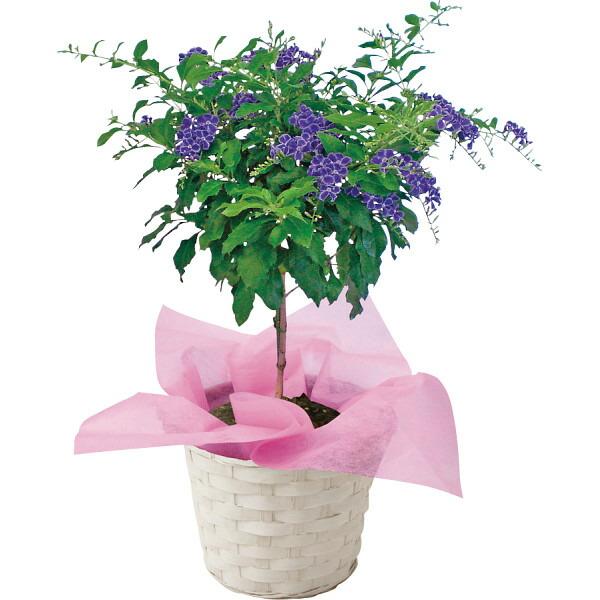 【送料無料】【母の日】デュランタ鉢植え 宝塚【代引不可】【ギフト館】