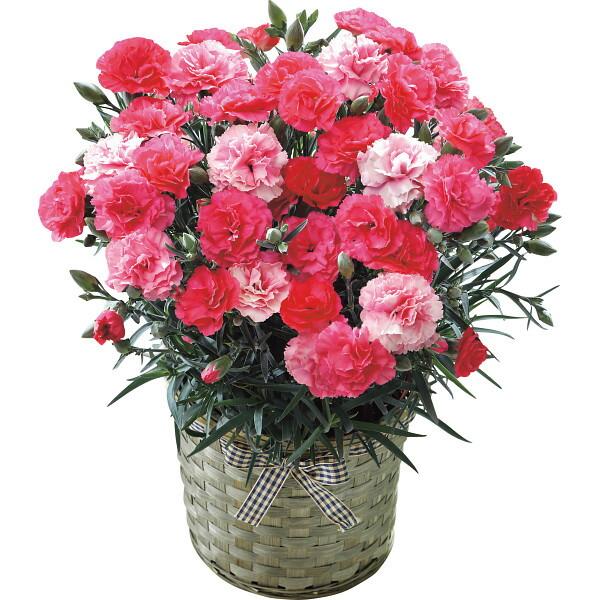【送料無料】【母の日】カーネーション鉢植え さくらもなか 19年度-3(母の日)【代引不可】【ギフト館】