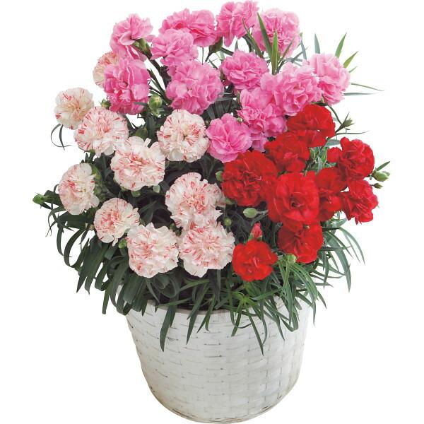 【送料無料】【母の日】カーネーション 3色鉢植え6号鉢【代引不可】【ギフト館】