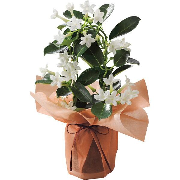 【送料無料】【父の日】マダガスカルジャスミン鉢植え【代引不可】【ギフト館】